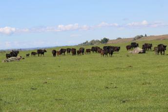Cows May 2020