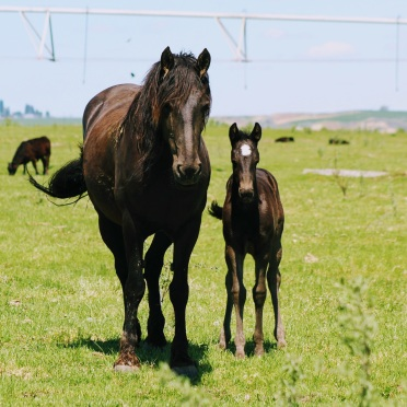 Fresian and foal May 2020