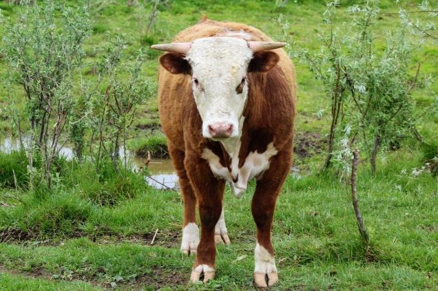 Hereford bull May 2020