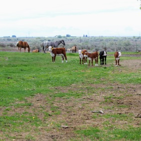 Hereford calves May 2020