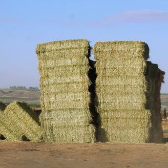 Barley alfalfa hay June 2020