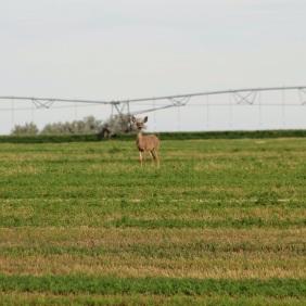 Deer May 2020