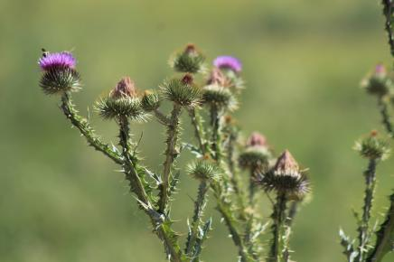 Thistle July 2020