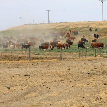 Bringing cows in Circle 5 Aug 2020 (1)