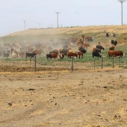Bringing cows in Circle 5 Aug 2020