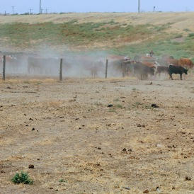 Cows from 5 Aug 2020-1