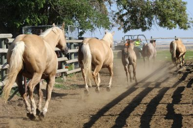 Moving horses Aug 2020